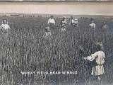 Wheat Field Near Wibaux